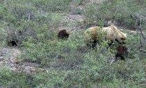 Медведица-гризли с тремя медвежатами.
