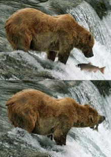 """Медведь по кличке """"Одноухий"""" и нерка."""