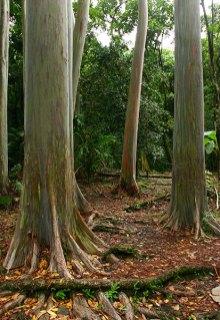 Гладкие стволы радужных эвкалиптов (Rainbow eucalyptus). Дендрарий Ke'anae Arboretum.