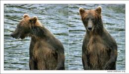 """""""Объявление: разыскивается криминальный медвежий авторитет по кличке «Подводная лодка». Подозревается в уничтожении ценных сортов рыбы в особо крупных размерах. Обладает сверхестественной способностью залегать на дно. Последнее место, где был замечен: водопады Брукса, Аляска. Портрет в фас и в профиль прилагается."""""""