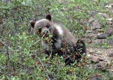 Медвежонок, лопающий ягоды.