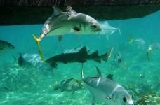 Группа Horse-eye Jacks и акула-нянька в середине. Hol Chan marine reserve.