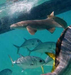 Акула-нянька (Nurse shark) и меланхоличные Horse-eye Jacks. Coral Gardens.