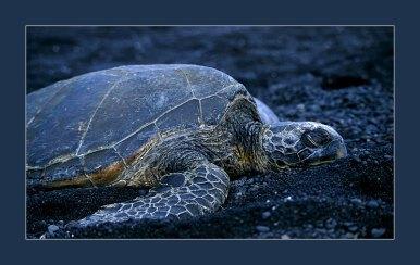 Спящая черепаха на черном пляже Punalu'u.
