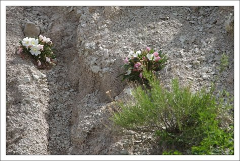 Gumbo lily, или Ослинник на краю каньона.