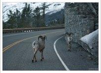 Группа баранов-толсторогов переходит дорогу.