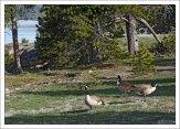 Казарки в гейзеровом бассейне West Thumb.