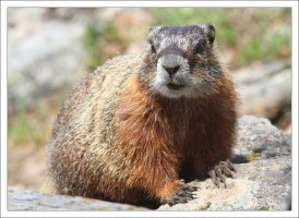 Желтобрюхий мармот (Yellow-bellied marmot).