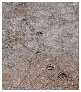 Свежие медвежьи следы.