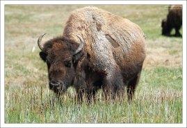 Степные бизоны питаются в основном травой, до 25 кг в день.