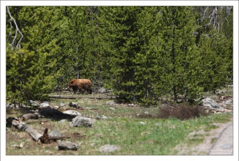 Медведь гризли на обочине дороги.