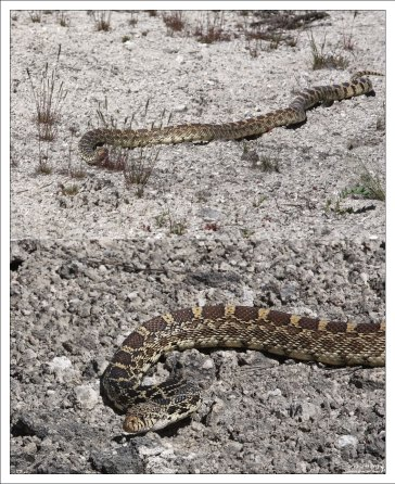 Бычья змея (Bullsnake).