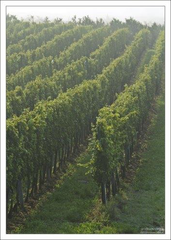 В Хорватии производится 1500 сортов вин.