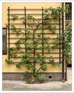 Шпалера для фруктовых деревьев.
