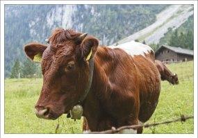 Корова подошла знакомиться.