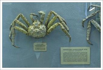 Камчатский промысловый краб - один из самых крупных ракообразных Дальнего Востока.
