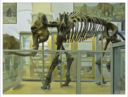 Скелет Березовского мамонта. Труп мамонта обнаружил охотник-эвен Семён Тарабыкин на берегу реки Берёзовки, правого притока Колымы, в августе 1900 года. Возраст - около 44 000 лет.