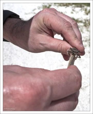 Мангровый краб (Mangrove tree crab).