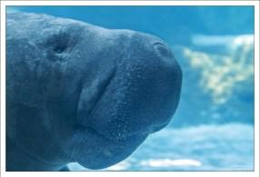 Одной из характерных особенностей данного вида является наличие гибкой раздвоенной верхней губы.