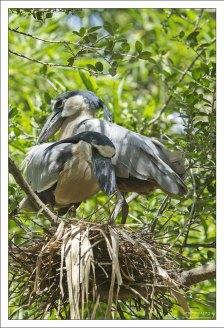 Семейство Челноклювов (Boat-billed heron) в гнезде.