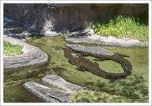 Крокодилы сплелись хвостами :)