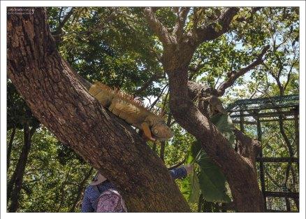 Игуаны на ферме ползают где хотят.