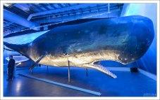 Кашалот (sperm whale). В поисках добычи кит-кашалот совершает самые глубокие погружения среди всех морских млекопитающих, до глубины свыше 2 км, оставаясь под водой до полутора часов.