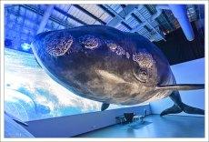 Северный гладкий кит (North Atlantic right whale).
