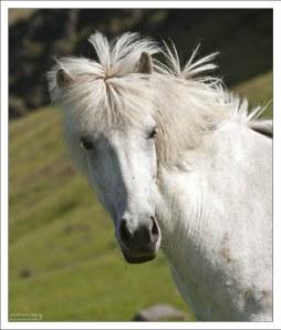 Исландская блондинка.