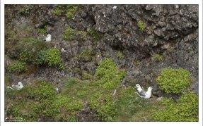Птица Глупыш (лат. Fulmarus) в гнезде, с птенцами.