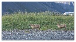 Овцы на пляже на полуострове Снайфедльснес.