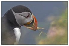 Характерной особенностью птицы является высокий ярко окрашенный клюв, который сильно сжат с боков.