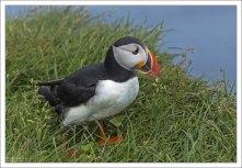 Обитает тупик на побережьях северной части Атлантического океана, с самыми крупными колониями в Исландии и на Фарерских островах.