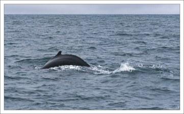 Спина горбатого кита.