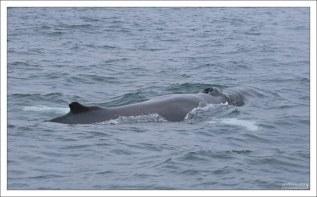 Humpback whale из подотряда усатых.