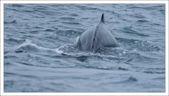 Горбатый кит – один из самых энергичных и акробатичных больших китов, чьё поведение, включая эффектное выпрыгивание из воды, привлекает к нему внимание туристов.