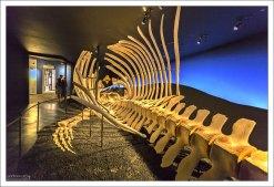 25-метровый скелет самки Синего кита.