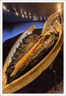 Кит умер при естественных обстоятельствах. Таких полных скелетов Синего кита очень мало. Во всей Исландии это единственный.