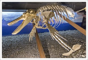 Скелет Атлантического ремнезуба.