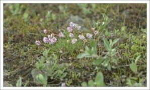 Армерия приморская (лат. Arméria marítima) - многолетнее травянистое растение. Любит умеренный и арктический пояса.