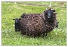 Масса тела взрослой самки исландской овцы составляет около 70 кг.