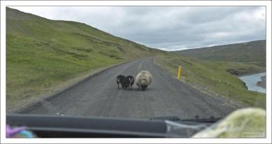 Семейство овец облизывает дорогу.