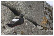 Морская птица Чистик (Black guillemot) отдахает на камнях.
