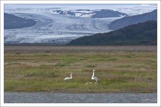 Семейство Тундровых лебедей на фоне ледникового языка.