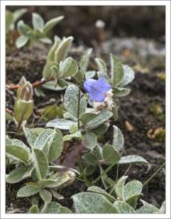 Колокольчик круглолистный (Campanula rotundifolia), более известный под именем Bluebell.