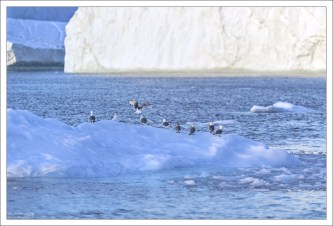 Чайки-моевки (лат. Rissa tridactyla) с подросшими птенцами отдыхают на льдине.