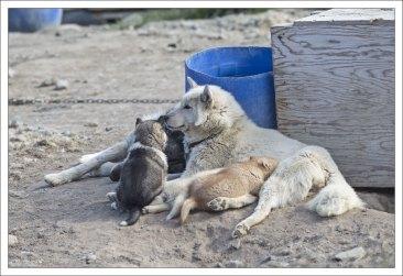 Мама хаски с тремя щенками разного цвета.