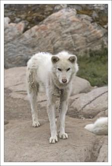 Некоторые хаски очень похожи на волков.