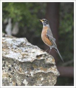 Странствующий дрозд - American robin (Turdus migratorius). Это самые крупные представители дроздовых на американском континенте.