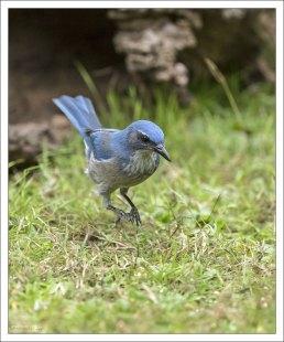 Марк Твен как-то пошутил, что голубые сойки называются птицами лишь потому, что имеют оперение и не посещают церковь. В остальном же они сильно напоминают людей: так же хитрят, ругаются и обманывают на каждом шагу.